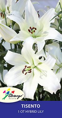 OT Hybrid Lily Tisento - Pack of 1