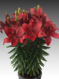 Patio Asiatic Lily Trendy Havana, pack of 1