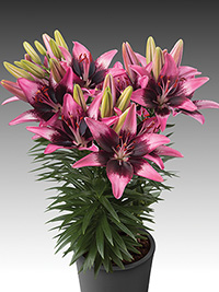 Patio Asiatic Lily Trendy Savannah, pack of 1