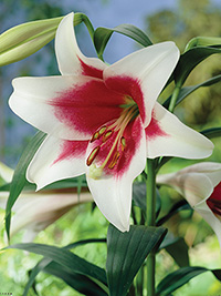 Christmas Lily Triumphator