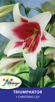 Christmas Lily Triumphator, pack of 1