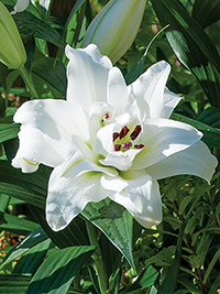 Double Oriental Lily White Eyes