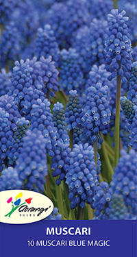 Muscari Blue Magic - Pack of 10