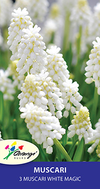 Muscari White Magic - Pack of 3