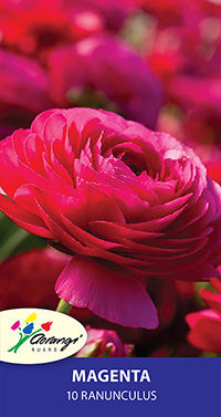 Ranunculus Magenta - Pack of 10