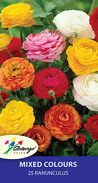 Ranunculus Mixed, pack of 25 3/4