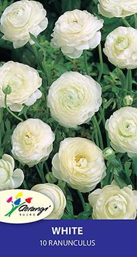 Ranunculus White - Pack of 10