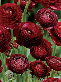 Ranunculus Mahogany