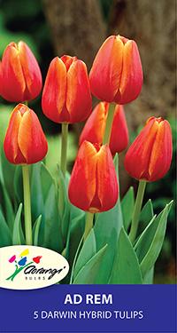 Darwin Tulip Ad Rem - Pack of 5