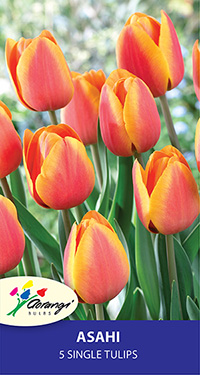 Tulip Asahi - Pack of 5