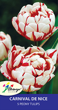 Tulip Carnival de Nice, pack of 5