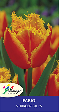 Tulip Fabio, pack of 5