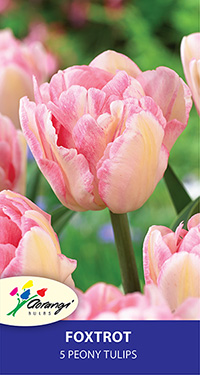 Tulip Foxtrot, pack of 5