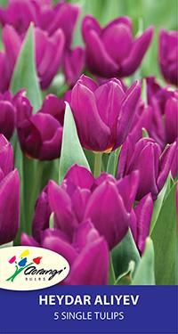 Single Tulip Heydar Aliyev - Pack of 5