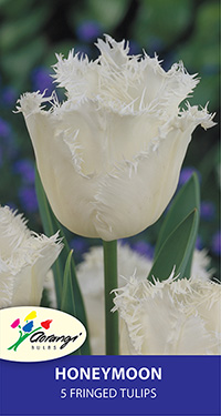 Darwin Tulip Honeymoon - Pack of 5