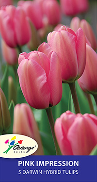 Darwin Tulip Pink Impression - Pack of 5