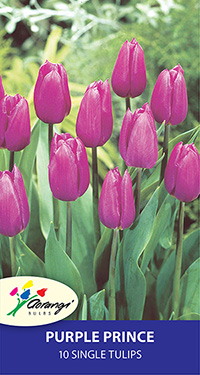 Tulip Purple Prince, pack of 10