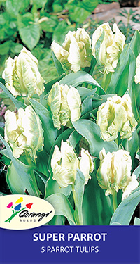 Tulip Super Parrot, pack of 5