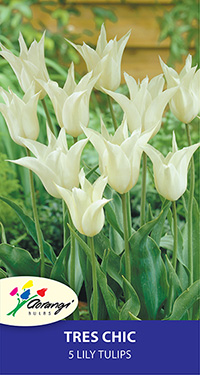 Tulip Tres Chic, pack of 5