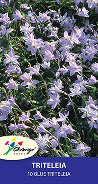 Triteleia - Pack of 10