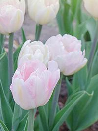Peony Tulip Angelique