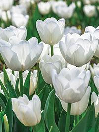 Single Tulip Antarctica
