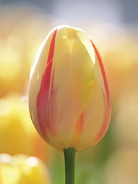 Tulip Camargue, pack of 3