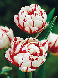 Peony Tulip Carnival de Nice