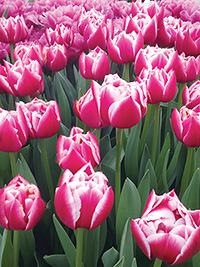 Peony Tulip Columbus