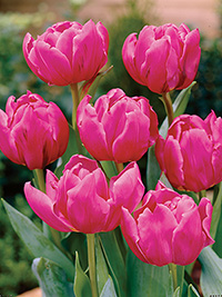 Peony Tulip Double Princess