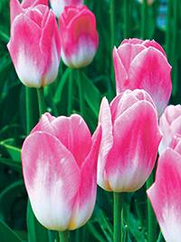 Single Tulip Dynasty