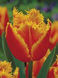 Darwin Tulip Fabio