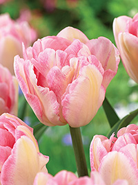Tulip Foxtrot, pack of 3
