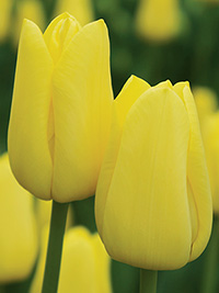 Tulip Friendship, pack of 3