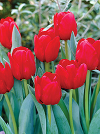Single Tulip Ile de France