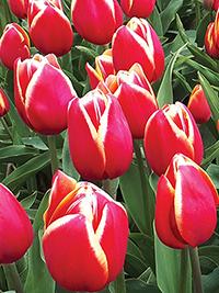 Single Tulip Karlijn