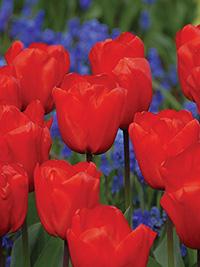 Single Tulip Lalibela