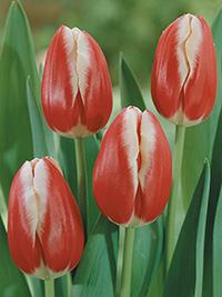 Single Tulip Leen van der Mark