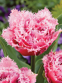 Peony Tulip Mascotte