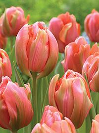 Peony Tulip Menton Unique