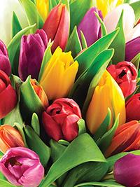 Single Tulip Mix All Types