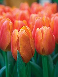 Single Tulip Orange Juice