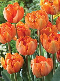 Tulip Orange Princess, pack of 3
