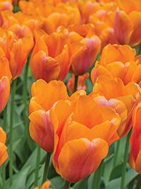 Single Tulip Orange Babies
