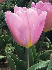 Single Tulip Piet Veerman