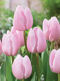 Tulip Pink Diamond, pack of 3