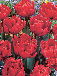 Tulip Red Princess, pack of 3