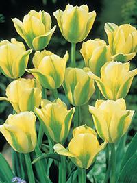 Green Tulip Spring Green