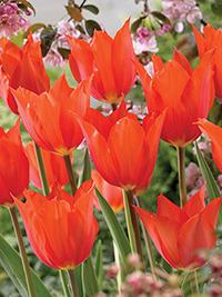Single Tulip Temples Favourite