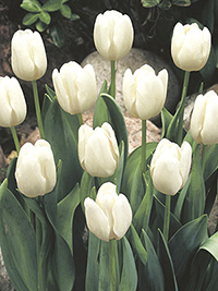 Tulip White Dream